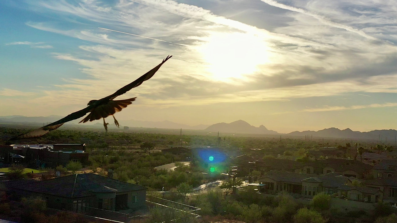 Hawk-Photo-Flying.jpg
