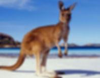 Kangaroo-beach 87kb.jpg