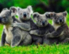 Koala group-light.jpeg