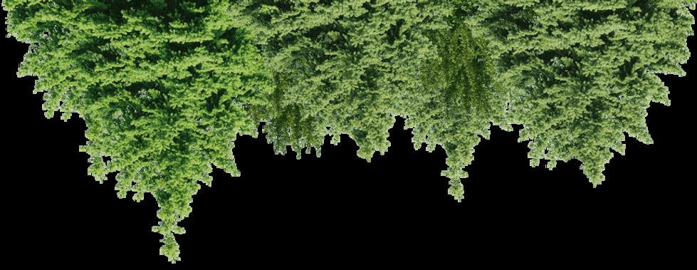 spruce-fir-pine-forest-tree-forest-backg