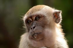 monkey KL