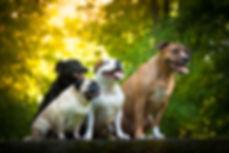 Dog friends - staffordshire bullterier,