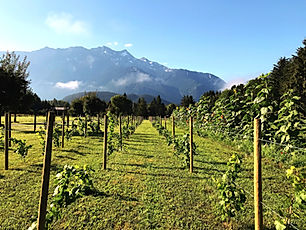 Rows of grape vines