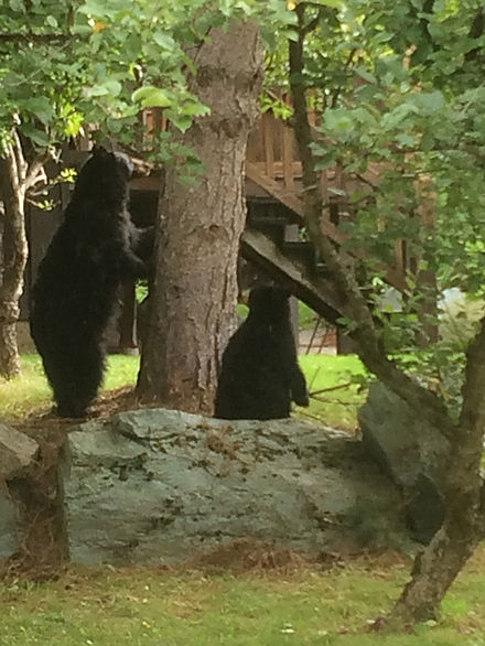 Two black bears in the yard of the Inn