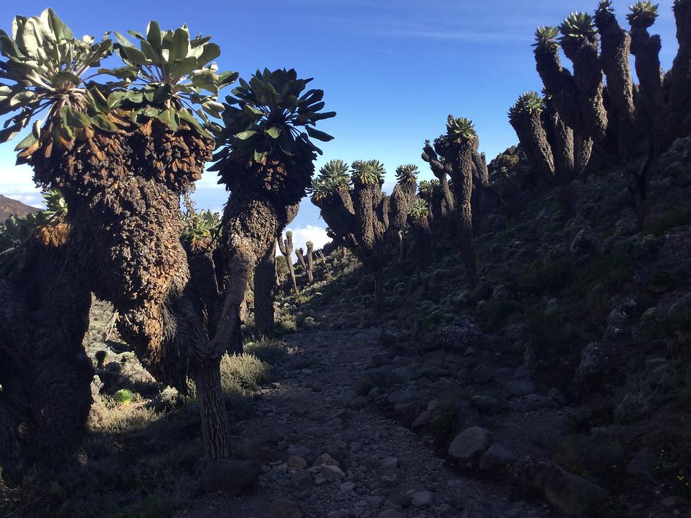 Kilimanjaro far away from barranco wall