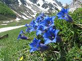 gentianes-de-koch-visoflora-12725.jpg