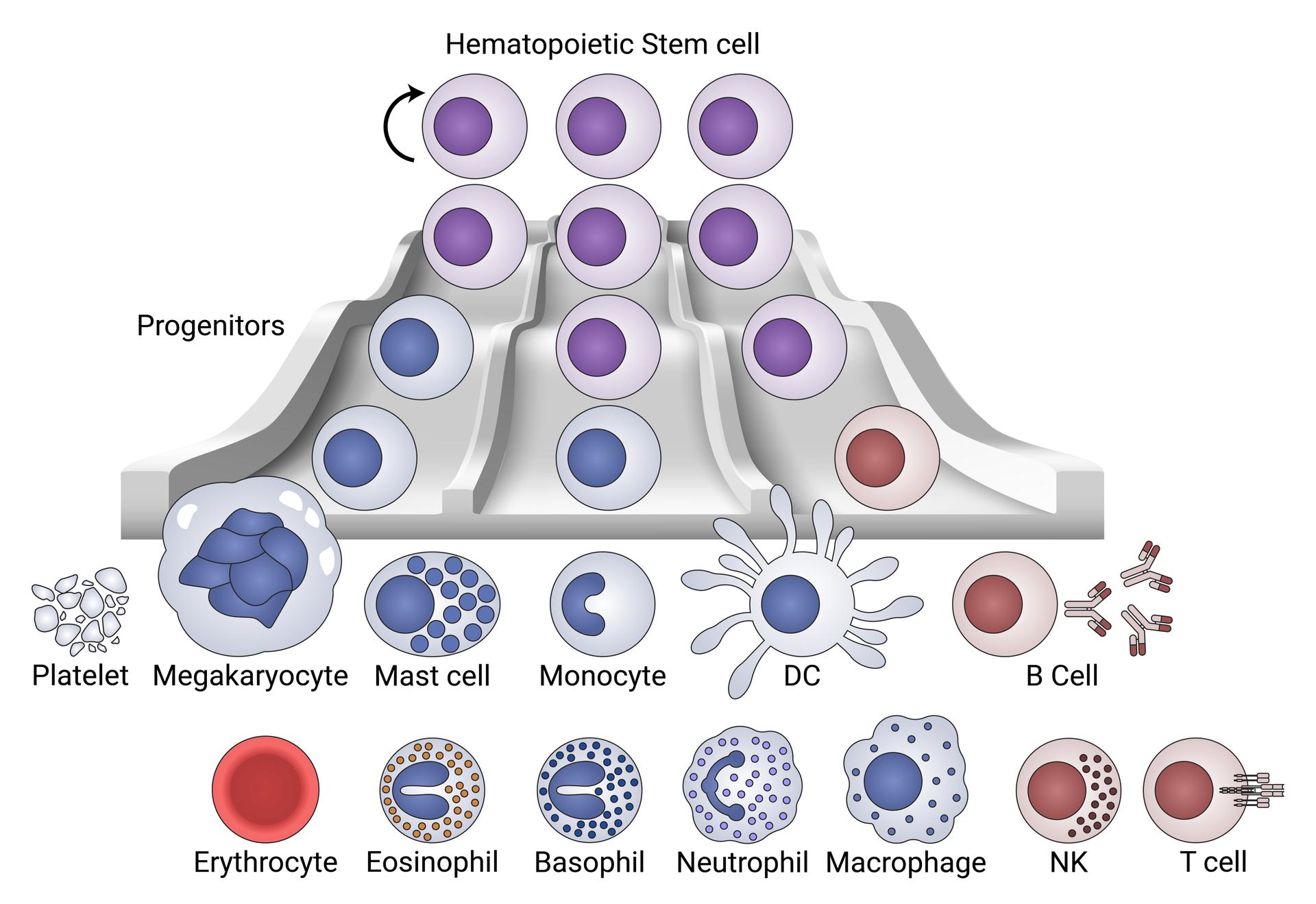 Hematopoietic Development