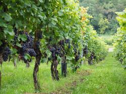Vignes Château l'Evesque