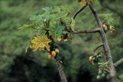 Papayuelas orgánicas