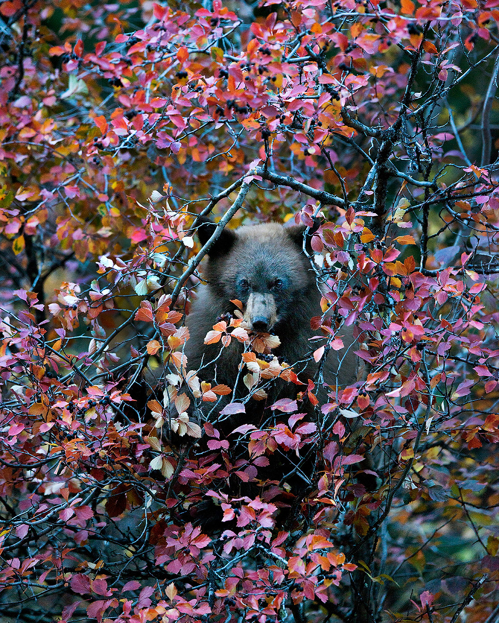 Grizzly bear in the Grand Tetons National Park eating foilage