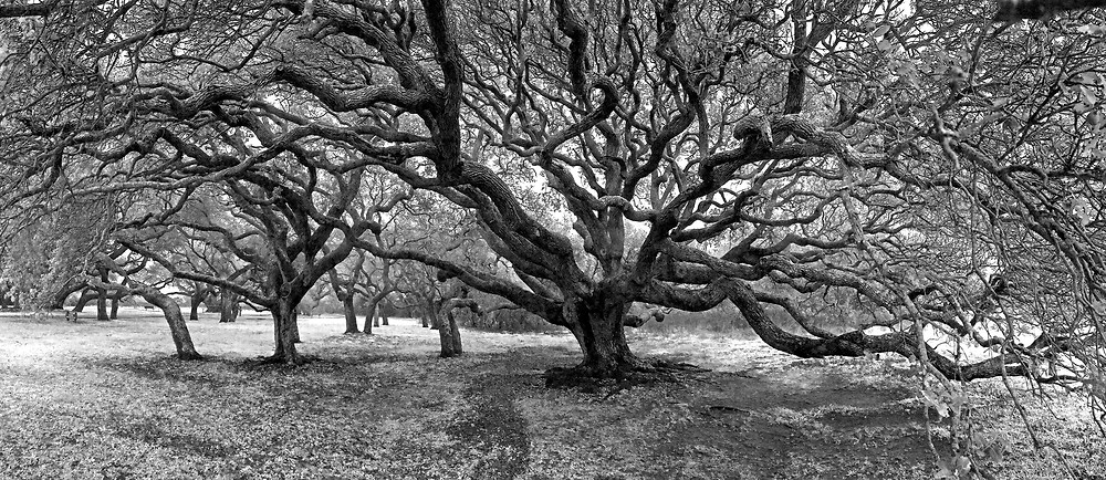 This fine art print is from the oldest oak grove in Texas.