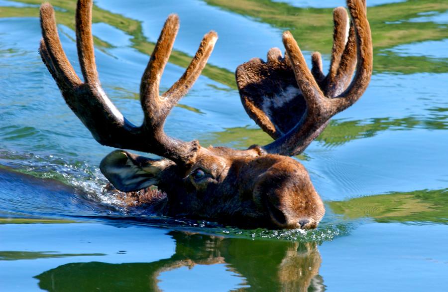 Moose swims across lake in The Grand Tetons.