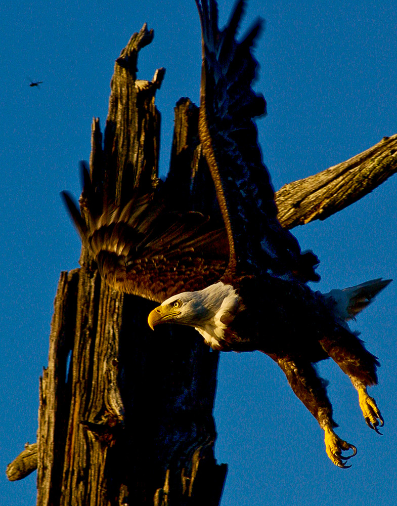A bald eagle launches to grab a fish.