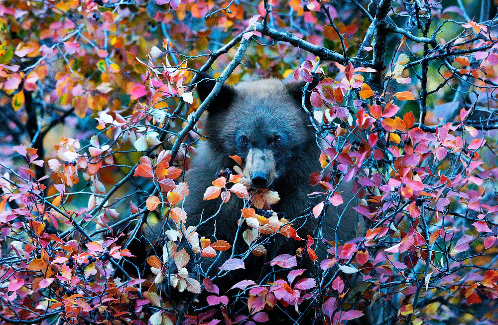 Grizzly bear eating fall colored leaves in the Grand Tetons National Park, Wyoming. Fine art print available.