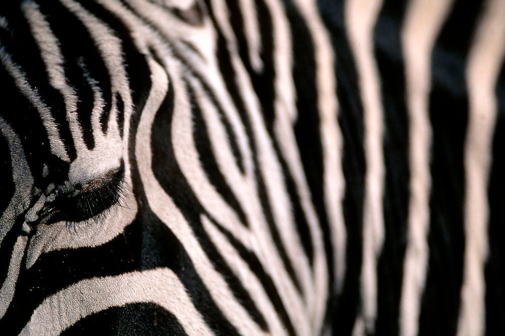 A rare grants zebra detail of the black and white strips on his coat. fine art print available.