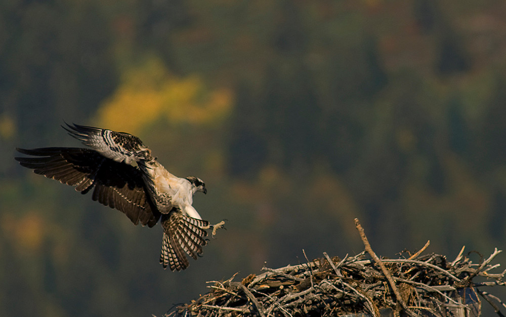 A juvenile Osprey practices landing in the nest he was born in.