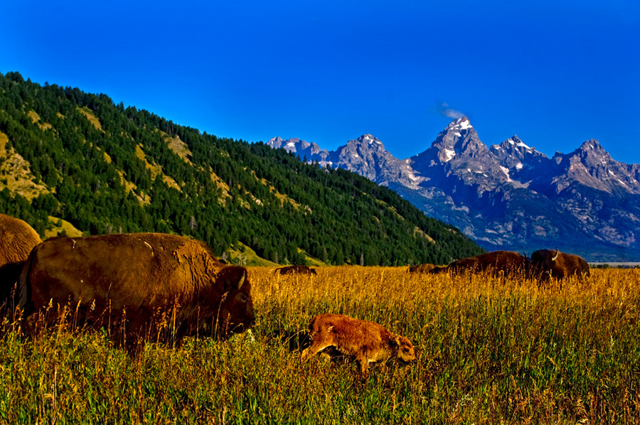 A new born buffalo with his mother in The Grand Tetons National Park.