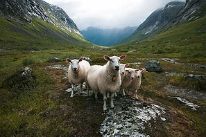 Schafe Norwegen.jpg