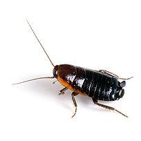PPE-Oriental Cockroach.jpg