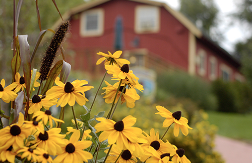 Sunflowers bloom before a red barn on the school property
