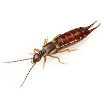 Premier-Pest-Elimination-Earwig.jpg