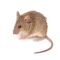 Premier-Pest-Elimination-House-Mouse.jpg