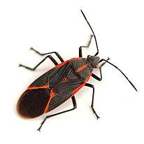 PPE-Box Elder Bugs.jpg