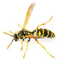 Premier-Pest-Elimination-Wasp.jpg