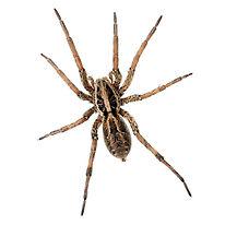 PPE-Wolf Spider.jpg