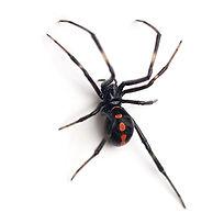 PPE-Black Widow Spider.jpg