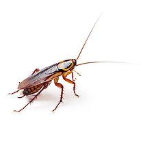 PPE-Wood Roach.jpg