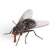 Premier-Pest-Elimination-House-Fly.jpg