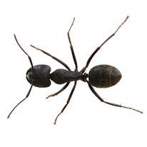 Premier-Pest-Elimination-Carpenter-Ant.j
