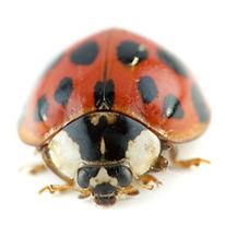 Premier-Pest-Elimination-Asian-Lady-Beet
