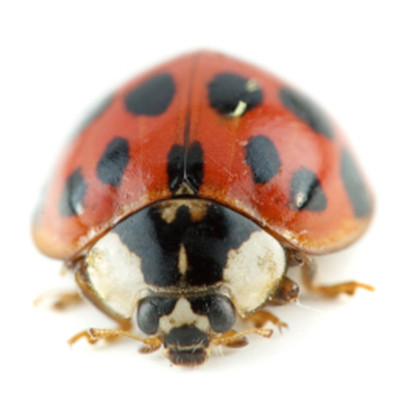 ASIAN BEETLES