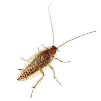 Premier-Pest-Elimination-German-Cockroac