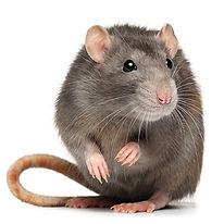 PPE-Rat.jpg