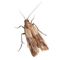 PPE-Indian Meal Moth.jpg