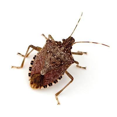 BROWN MARMORATED STINK BUGS