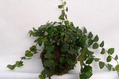 KOKEDAMA 75 Ficus sunny vert profond petit modèle