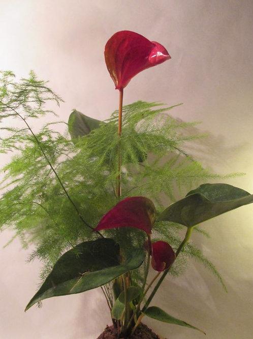 kokedama Duo Anthurium rose et Asparagus plumosus