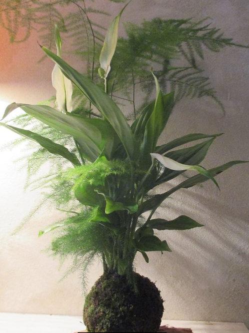 KOKEDAMA 39 Duo Aspa.Cetaceux plum/Spathiphyllum