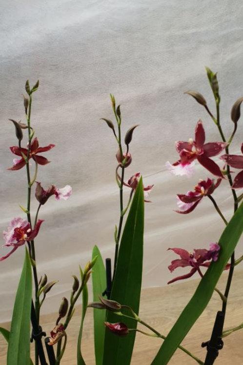 KOKEDAMA  100 Orchidée Cymbidium fuchsia 4 branches