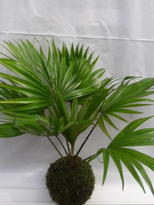 "KOKEDAMA 34 Livistona Rotundifolia ""Spécial été"""