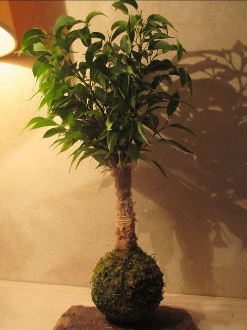 KOKEDAMA 30 Ficus Benjamina Natasja