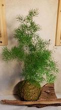 Asparagus myriocladus.JPG