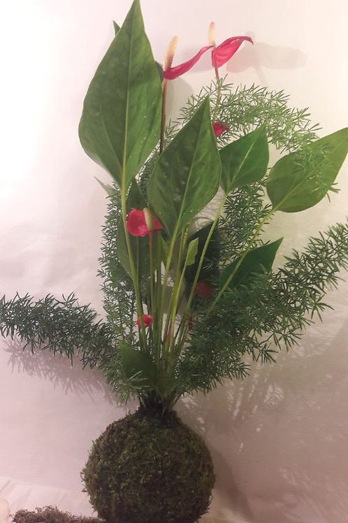 KOKEDAMA 86 Duo Anthurium rouge et Asparagus densiflorus