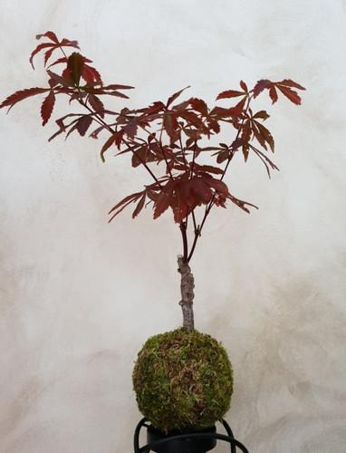 koke 45 Bonsai acer palmatum pourpre