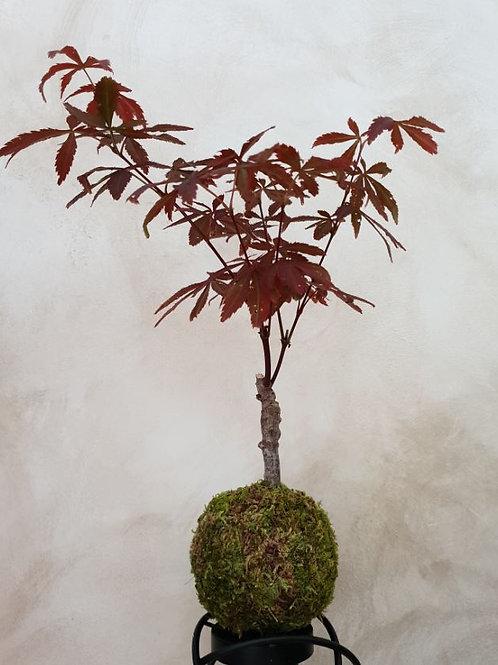 KOKEDAMA 45 Acer palmatum pourpre