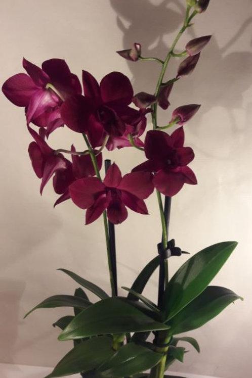 KOKEDAMA 96 Orchidée Dendrobium fuschsia 2 branches